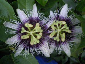 flor fruta de la pasion
