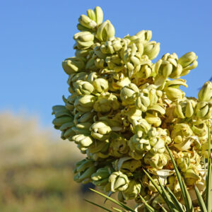 flor de la yuca