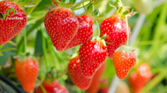 donde se cultivan las fresas de frutas olivar