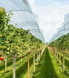 donde se cultivan las fresas en portugal