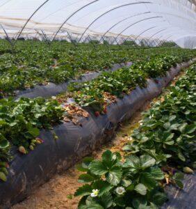 donde se cultivan las fresas en huelva