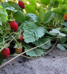 donde se cultivan las fresas suelo