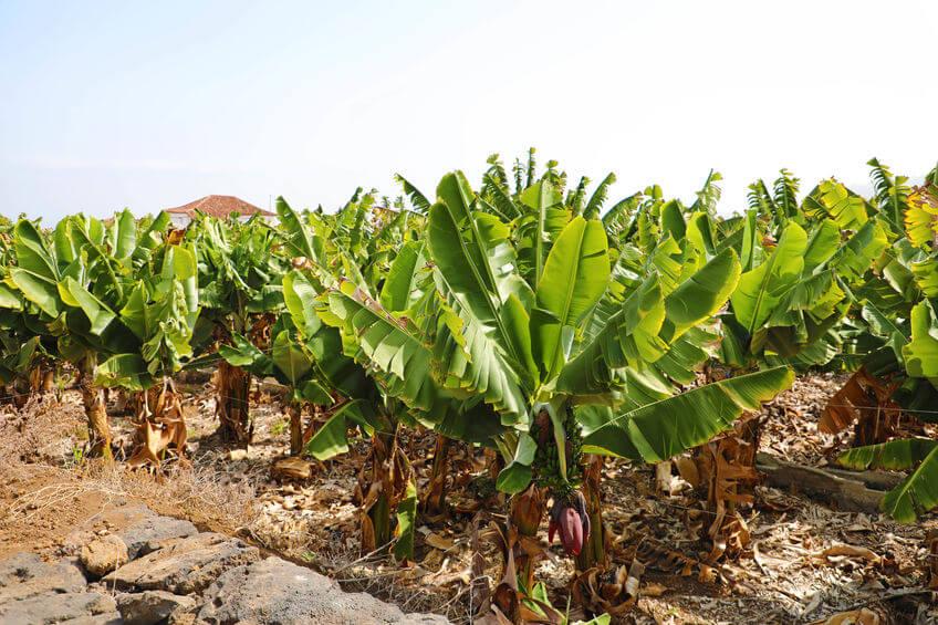 plataneras del plátano de canarias