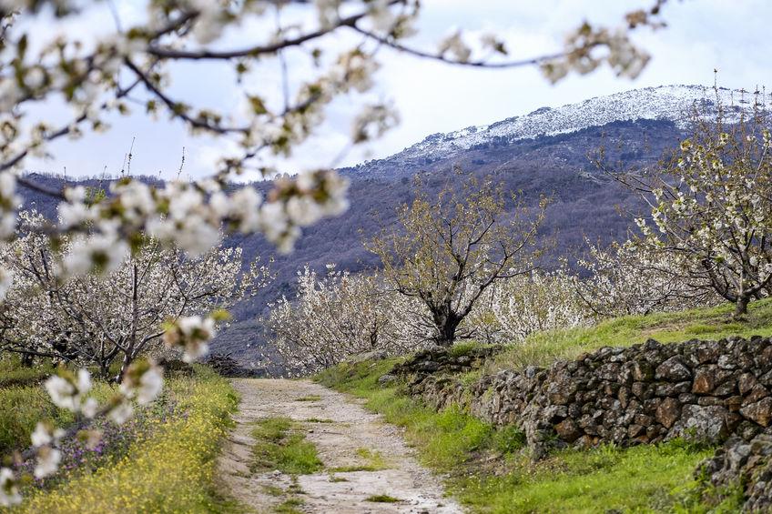 cerezos con cerezas del valle del jerte
