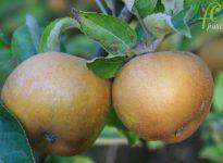 La manzana reineta: el equilibrio del sabor dulce y ácido