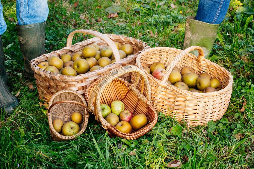 manzanas reinetas recogidas a mano