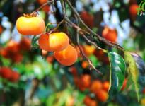 Recetas con caqui: cómo puede ayudarte esta fruta en tu alimentación saludable